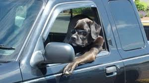 dogdriving