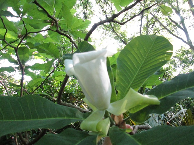 When the Ash starts to bloom, the blossoms look almost like Trumpet Lilies