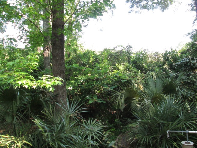 A glimpse of our backyard, essentially a jungle of native Florida flora