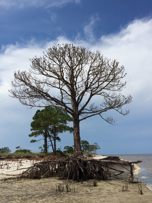 "I dedicate this dead tree to Florida's Governor Rick Scott who has unofficially banned the phrase ""climate change"" from state agency documents. You know, pine trees and salt water don't really go together."
